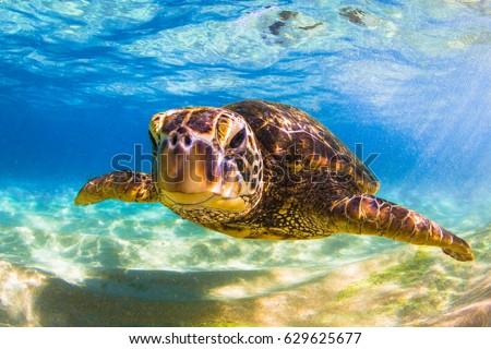 Stock Photo Endangered Hawaiian Green Sea Turtle