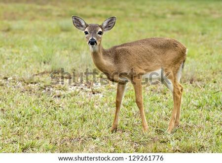 The Florida Key Deer and the National Key Deer Refuge