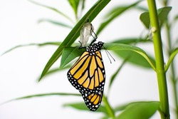 Endangered monarch butterfly just emerged from its chrysalis on a milkweed.