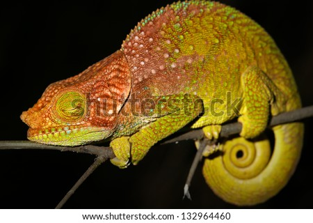 ENDANGERED O'Shaughnessy's Chameleon (Calumma oshaughnessyi) sleeping in the Ranomafana Rain Forests of Madagascar. Listed as Vulnerable by the IUCN.  Leaves, branch, forest, foliage, tree, rain.