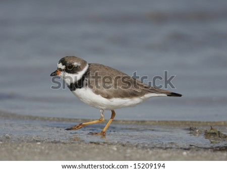 Endangered Piping Plover - stock photo