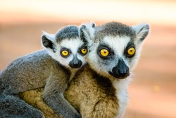 Endangered ring tailed lemur carrying cute baby on back looking in to camera. Berenty reserve Madagascar
