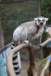 endangered ring tailored lemur in a zoo