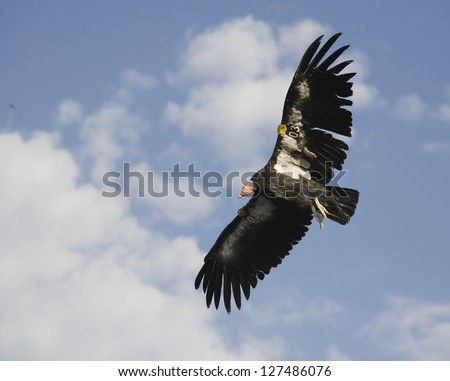 endangered tagged condor soaring over the grand canyon national park