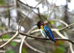 Endemic bee hummingbird (Mellisuga helenae) in Palpite, Cuba