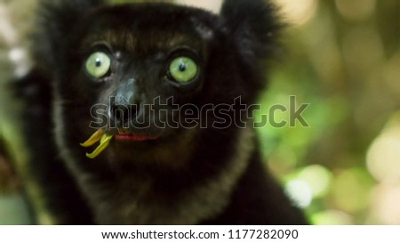 Endemic Indri lemur in natural habitat. also called the babakoto, is the largest lemurs of Madagascar
