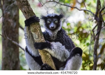 Endemic Indri lemur in natural habitat. Madagascar