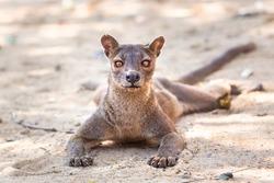 Endemic Madagascar fossa on the ground