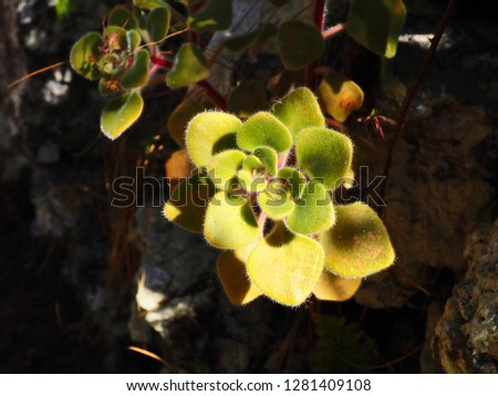 endemic thick-leaf plant on Tenerife with small fine bunnies, an Aichryson laxum (Haw.) Bramwell. It shines very brightly and brightly because it is full of sunlight and grows out of a stone wall.  #1281409108