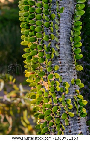 Endemic to south Madagascar, trunk of an Madagascar ocotillo or Alluaudia, of the Didierea family.