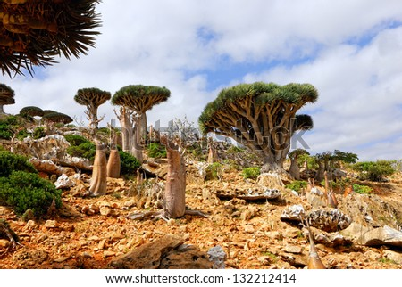 Endemic trees of Socotra Island, Yemen