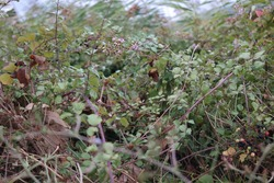 Endemic wild blackberry bushes by the roadside of a rural area giving fruit in October/fall.