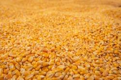 Endless Corn Kernel Harvest, Low Angle