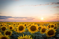 Endless field of blooming sunflowers with a setting sun in the background