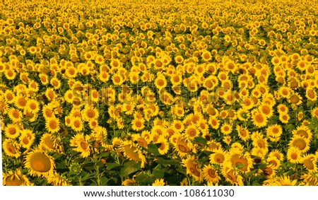 Endless field of yellow sunflowers.