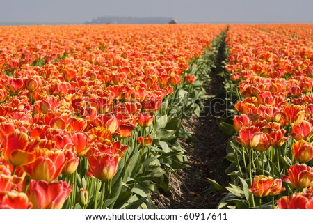 Endless field with orange tulips in te Netherlands