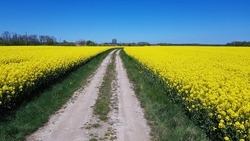 Endless rapeseed fields bloomed with bright yellow bloom on spring days.