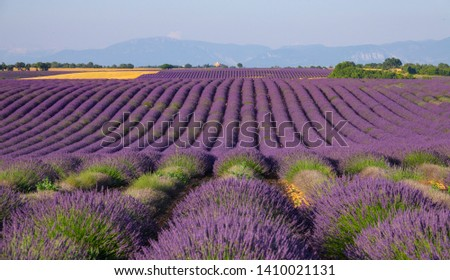 Endless rows of lavender shrubs in picturesque French countryside are getting damaged by mass tourism. Bright violet rows of blooming lavender are decaying due to masses of travelers visiting Provence #1410021131
