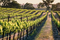 Endless rows of lush green grape vines in the evening light