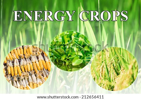 Energy crops wording for background