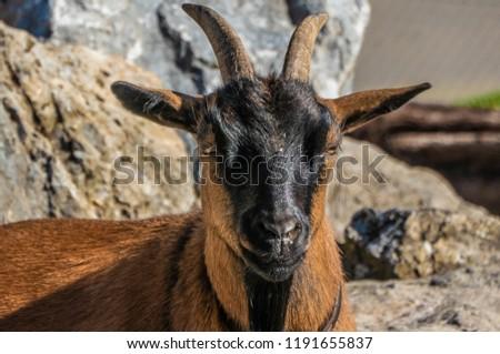 Engadiner Ziege (Endadin dwarf goat), Zurich, Switzerland #1191655837