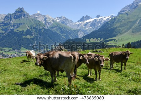 Engelberg, Switzerland - 8 august 2016: Brown cows in the alpine meadow at Engelberg on the Swiss alps #473635060