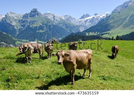 Engelberg, Switzerland - 8 august 2016: Brown cows in the alpine meadow at Engelberg on the Swiss alps #473635159