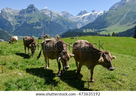 Engelberg, Switzerland - 8 august 2016: Brown cows in the alpine meadow at Engelberg on the Swiss alps #473635192