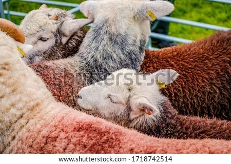 England Cartmel August 3rd 2016 Herdwick sheep in show pen at Cartmel show Stock photo ©