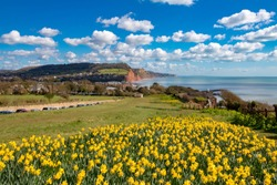 EnglandDevonSidmouth31 March, 2016Beautiful springtime view of this popular seaside town showing daffodils in the foreground and the red cliffs of the area behind.