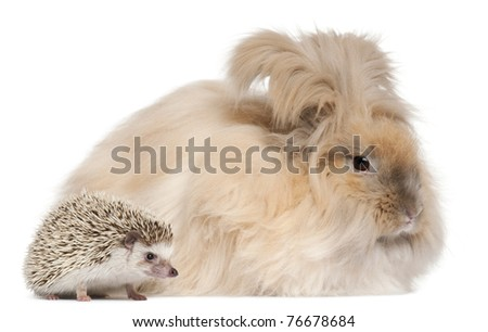 English Angora rabbit and a Four-toed Hedgehog, Atelerix albiventris, in front of white background