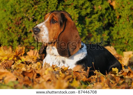 English Basset Hound in autumn hunting dog for small game origin race Basset d'Artois