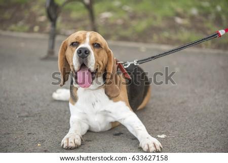 English Beagle #633627158