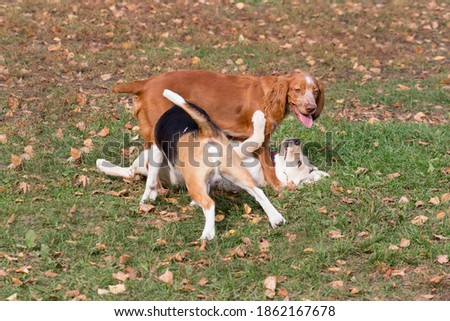 English beagle puppy, russian spaniel and labrador retriever puppy are playing in the autumn park. Pet animals. Zdjęcia stock ©