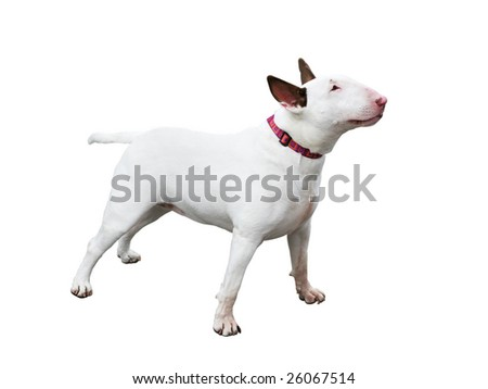 english blue terrier dog with clipping path