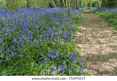 English bluebell wood in spring with dappled sunlight
