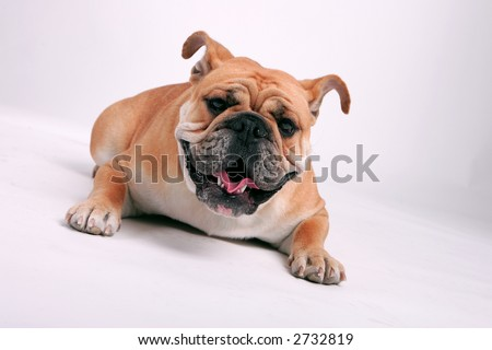 English bull dog laying down
