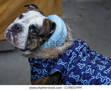 English Bull dog with a coat and hood looking side ways/ What About Me