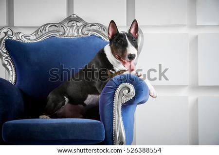 English bull terrier #526388554