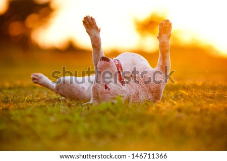 English Bull Terrier Dog Lying Upside Down In Sunset Light