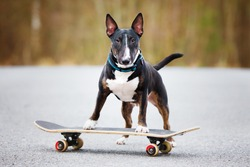 english bull terrier dog on a skateboard