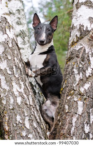 english bull terrier on a tree