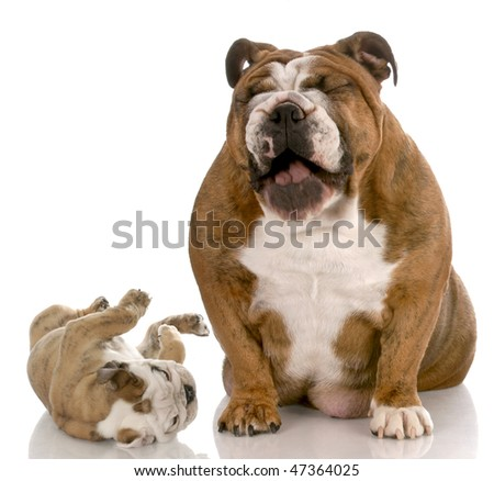 english bulldog adult dog laughing a silly puppy on white background