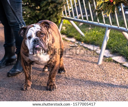English Bulldog, also known as the British Bulldog, is a medium-sized dog breed. It is a muscular, hefty dog with a wrinkled face and a distinctive pushed-in nose. #1577005417