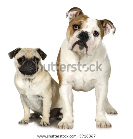 english Bulldog and a pug in front of a white background