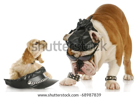 english bulldog and cocker spaniel puppy dressed up like bikers with reflection on white background