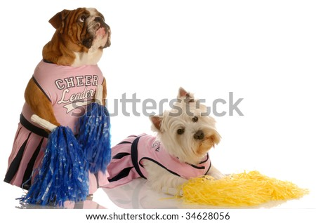 english bulldog and west highland white terrier dressed up as cheerleaders