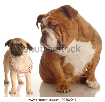 english bulldog annoyed with pug puppy that is wearing collar that is too big