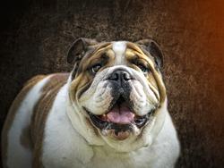 English Bulldog - Beautiful breed representative - Head portrait