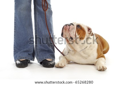 english bulldog being taught to lay down and stay in obedience class on white background